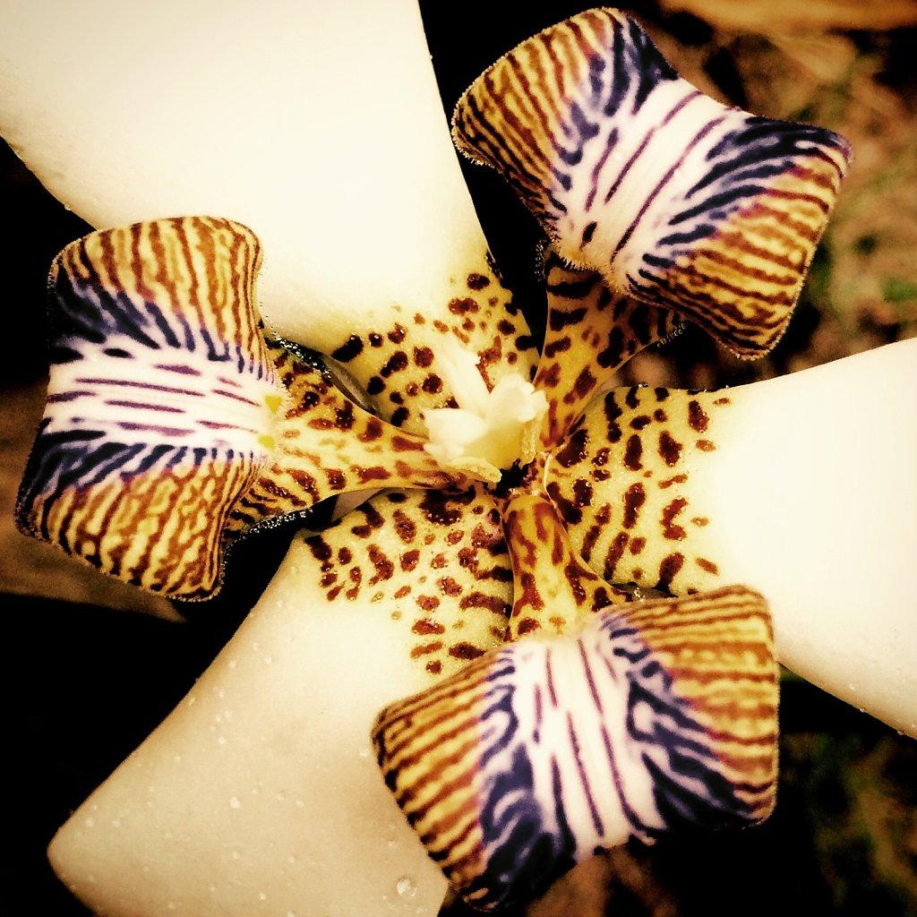 Tiger orchidea