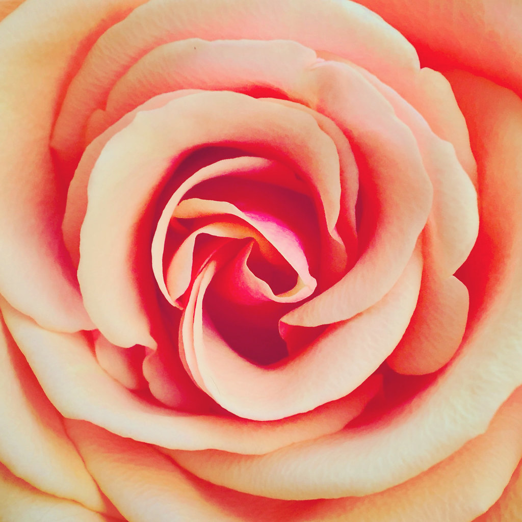 Rose-iphone.JPG